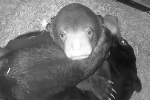 Watch: Adorable baby cub loves snuggles with momma bear